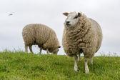 Moutons texel à l'île des wadden néerlandaise — Photo
