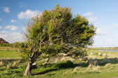 Tree and sheep in the Horspolders at Dutch Texel — Stock Photo