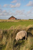 Texel овцы трава пастбищными — Стоковое фото