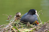Eurasian coot with young coot — Stock Photo