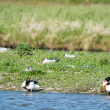 Stock Photo: Common shelducks and black-headed segulls