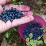 Picking blueberries — Stock Photo