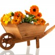 Orange marigolds in wheel barrow — Stock Photo