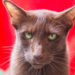 Stock Photo: Havannbrown siamese