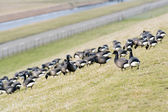 Swarm Brent gooses at the dike — Stock Photo