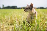 Siamese cat outdoor — Stock Photo