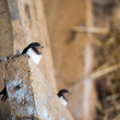 Stock Photo: Young barn swallow