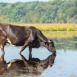 Nature landscape with cow in water — Stock Photo