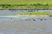 Greylag Gooses with many goslings — Stock Photo
