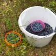 Stock Photo: Picking blueberries