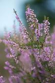 Heath in nature — Stock Photo