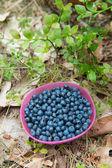 Cueillette de bleuets — Photo