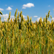 Grain field — Stock Photo