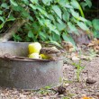 Sparrow on bucket apples — Stock Photo