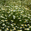 Fields with chamomile — Stock Photo