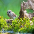 Stock Photo: Sparrow in nature