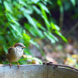 Stock Photo: Sparrow on old bucket