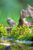 Sparrow in nature — Stock Photo