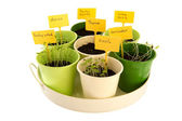 Tray sowed herbs — Stock Photo