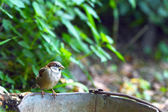 Sparrow on old bucket — Stock Photo