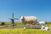 Sheep and windmill at Dutch island Texel — Foto de Stock