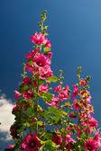 Pink Common Hollyhock — Stock Photo