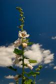 White Common Hollyhock — Stock Photo