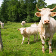 French white cows — Stock Photo