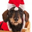 Wire haired dachshund with Christmas suit in wooden crate — Stock Photo #36372967