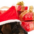 Wire haired dachshund with Christmas hat — Stock Photo
