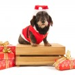 Wire haired dachshund with Christmas suit on wooden crate — Stock Photo