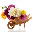 Bouquet Dahlias in wheel barrow — Stock Photo #38218881