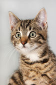 Portrait little striped cat — Stock Photo