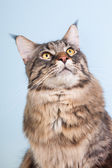 Maine coon cat on blue — Stock Photo