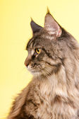 Maine coon cat on pastel yellow — Stock Photo