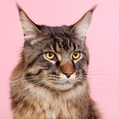 Maine coon cat on pastel pink — Stock Photo