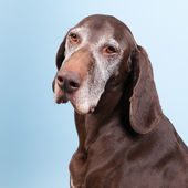 Portrait old dog — Stock Photo