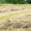 Stock Photo: Drying grass