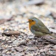 Stock Photo: European Robin