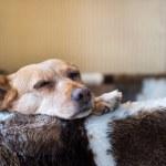 Sleepy cross breed dog in basket — Stock Photo #40025557