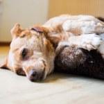 Sleepy cross breed dog in basket — Stock Photo #40025565