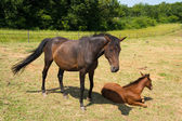 Brown horse with foal — Stock Photo