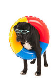 Dog with swimming toy — Stock Photo