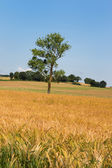 Single tree in agricultural field — Stock Photo