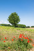 Tree in agricultural landscape — Stockfoto