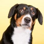 Portrait Sennen hund — Stock Photo #40792833