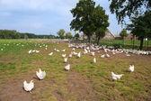 Chicken farm — Stock Photo