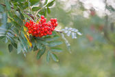 Red Sorbus — Stock Photo
