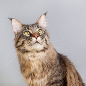 Maine coon cat on gray — Stock Photo