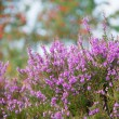 Macro heather flowers with sorbus trees in background — Stock Photo #41253547